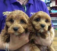 puppy shack puppies for sale brisbane queensland