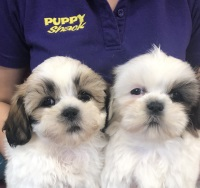 Puppy Shack - Puppies for sale Brisbane, Queensland, Beagle