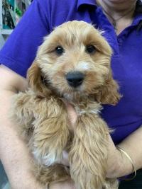 Puppy Shack - Puppies for sale Brisbane, Queensland, Beagle