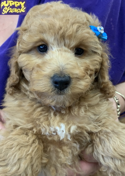 Poodle Cross Puppies Adelaide